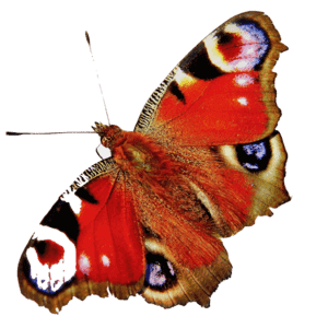 schmetterling rot transparent