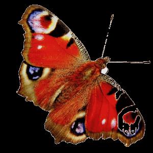 schmetterling rot transparent gespiegelt